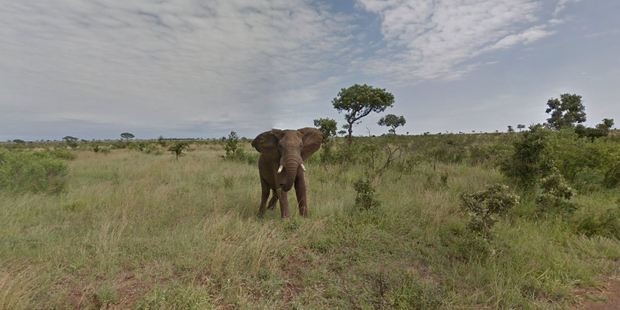 This majestic elephant can be seen enjoying a grassy snack on Google Street View. Photo / Google