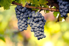 Eating grapes is good for the eyes and could reduce the risk of going blind later in life. Photo / iStock
