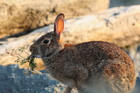 Rabbit damage costs the agricultural industry tens of millions of dollars in control and lost production each year. Photo / File