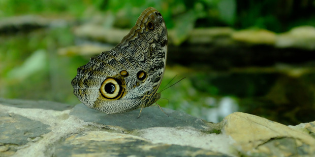 An Owl butterfly seen at the  Mashpi Lodge, Ecuador. Photo / Lydia Jenkin