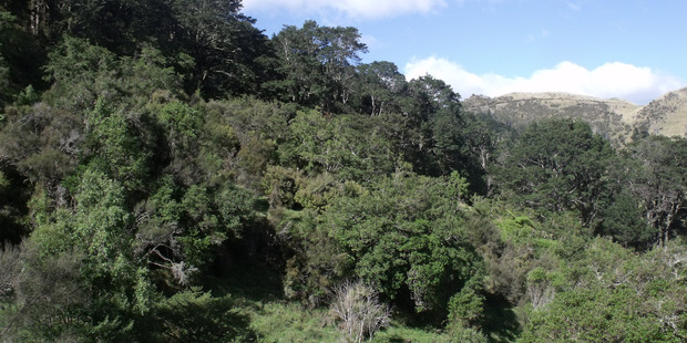Part of a beech forest on Smedley Station, Tikokino, Central Hawke's Bay, part of a 170 hectare land exchange with the Department of Conservation, (which also includes regenerating native bush and wet