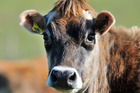 Cow numbers are also declining, with forecasts the national breeding cow herd fell below 1 million for the first time last year.