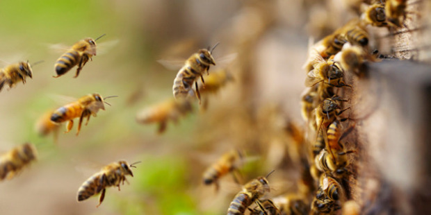 A person is seriously ill after being stung by bees. Photo / iStock