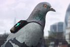 Pigeons in tiny backpacks are measuring air pollution in London, which is so bad that it is blamed for 9500 premature deaths a year. Photo / DigitasLBI