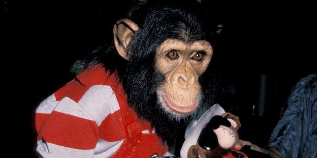 Michael Jackson's pet chimp, Bubbles. Photo / Getty Images