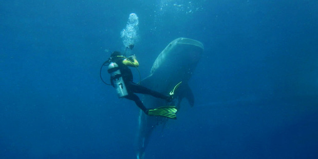 A whale shark and diver in Papua New Guinea. Photo / Marcel Ekkel