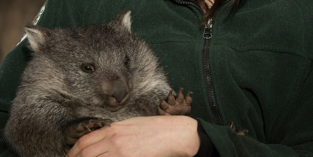 Tasmania's Bonorong Wildlife Sanctuary is the perfect place to interact with native Australian animals such as wombats kangaroos and Tasmanian devils.