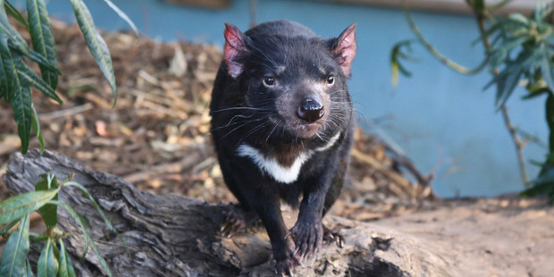 A Tasmanian devil at Bonorong Wildlife Sanctuary in Tasmania.