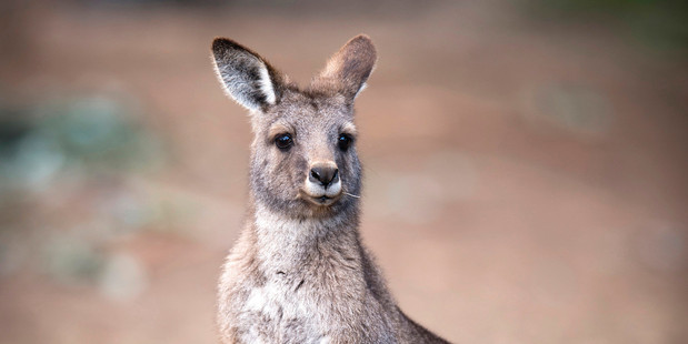 A kangaroo at Bonorong Wildlife Sanctuary in Tasmania.