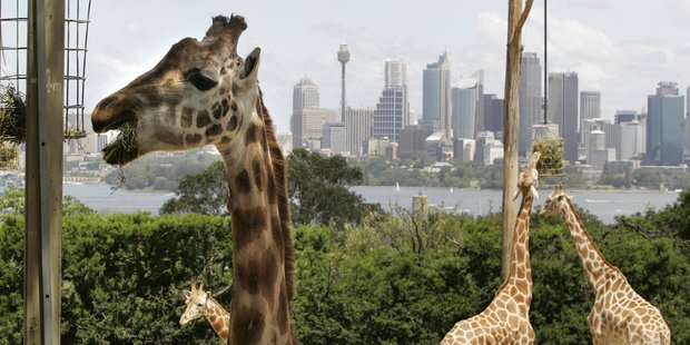 Taronga Zoo has stunning views across Sydney Harbour. Photo / Mark Mitchell