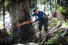 Johno Smith works on a graft to repair damage to the kauri tree which was ringbarked in December. Photo /  Jason Oxenham