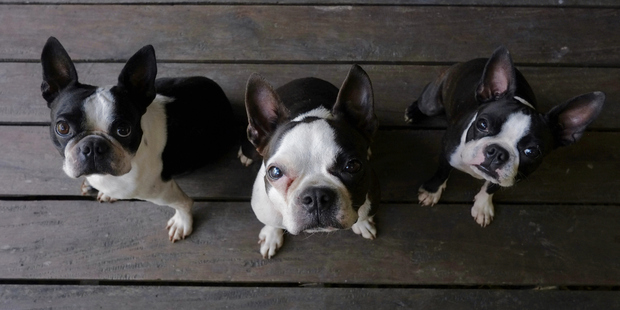 Boston Terrier's gentle temperament makes them good companions. Photo / Thinkstock