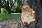 A tree at Eskdale Park has been hacked by vandals. Photo / Duncan Brown