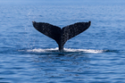 Japanese whalers have just returned home after killing the mammals, including 230 pregnant females, one of whom had twin calves. Photo / iStock
