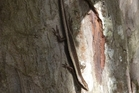 RARE: This rare striped skink was spotted by a Canopy Tour group a couple of weeks ago. PHOTO/SUPPLIED