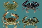 These are colourations of the invasive Japanese or Asian paddle crab - aggressive, larger than native paddle varieties and with rows of spikes along each eye.