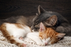 CAT CAMPAIGN: Wellington City Council could limit domestic felines to two per household.PHOTO/STOCK IMAGE