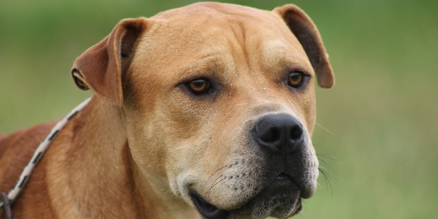 Zane is available for adoption at Auckland SPCA