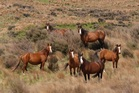 HELP: A muster to gather 100 Kaimanawa horses is now scheduled for April 26. PHOTO: SUPPLIED
