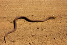 Gary Peters is believed to have been bitten by a poisonous mulga snake. Photo / Getty Images
