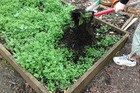 Planting and digging in a green crop is a good way to replenish soil's vitality.