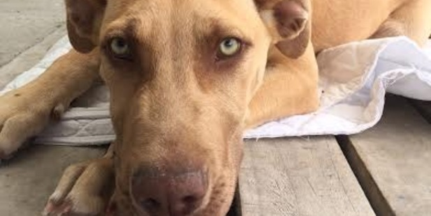 Brax is available for adoption from Rotorua SPCA