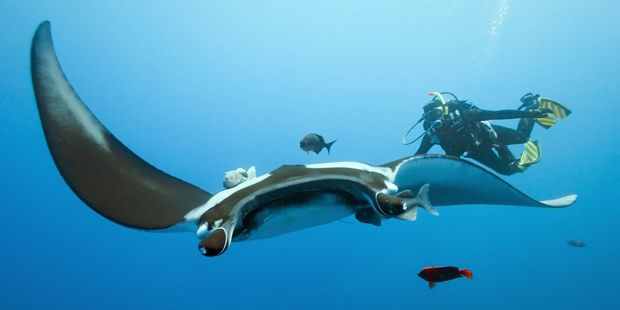 Dive with manta rays in Palau.