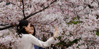 Women take a selfie with blooming cherry blossoms at Shinjuku Gyoen National Garden in Tokyo. Photo / AP