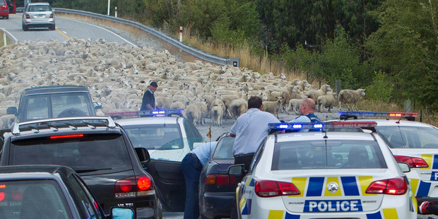 The high-speed police pursuit through Central Otago in January was brought to a halt by a flock of sheep. Photo / James Allan