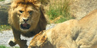 Lions at Paradise Valley Springs.