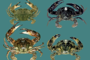 Charybdis japonica - Asian or Japanese paddle crabs - are a new pest to Northland, but they can't be collected for fear of spreading them further.