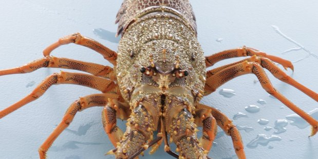 Kiwi lobster are sought after in Asia's biggest economy.
