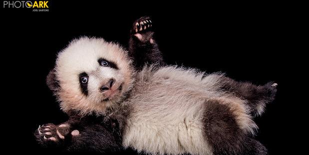 Giant panda at the Zoo Atlanta. Photo / Joel Sartore for National Geographic