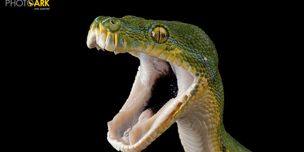 Green tree python at the Riverside Discovery Centre, Nebraska. Photo / Joel Sartore for National Geographic