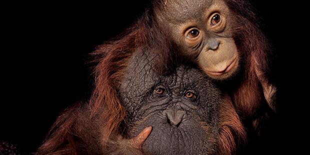 A Bornean orang-utan and a Bornean/Sumatran orang-utan cross at the Houston Zoo. Photo / Joel Sartore for National Geographic