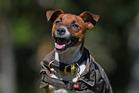 Wilson the dog will be running a half marathon for Aslan the dog who has a heart murmur. Photo/George Novak