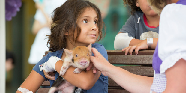 Loading Ceason Rudkin, 8, of Papakura pets the piglet at Kids First outside Middlemore Hospital. Photo / Nick Reed