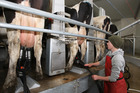 Dairy prices are expected to hover around current levels before edging up later in the year. Photo / David Kerr