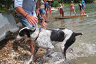 Max, a huntaway-mastiff owned by Tony Parfoot of Okiato, won every swimming race he entered in 2013's Opua Regatta.