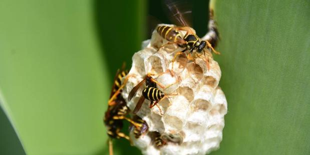 Paper wasps busy building and protecting their nest.