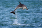 A report warns the marine mammals could be driven out of the Bay of Islands. Photo / NZME