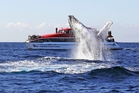 Captain Cook Cruises will get you right up close to migrating whales in Sydney Harbour.