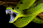 While some snake venoms may be highly potent, other, less potent venoms might kill faster. Photo / iStock