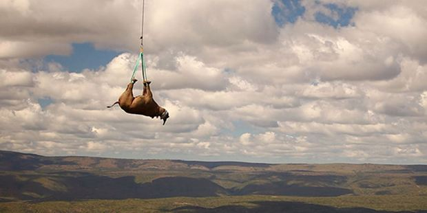 The World Wildlife Fund flies rhinos from poaching hot spots to safer terrain. Handout photo by Greenfield media/WWF for The Washington Post