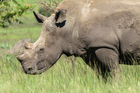 The auction house hopes that it generates constructive debate about illegal poaching trade. Photo / iStock
