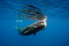 An international team of scientists found a sperm whale could most likely use its massive noggin as a battering ram to down a whaling ship five times its size. Photo / iStock