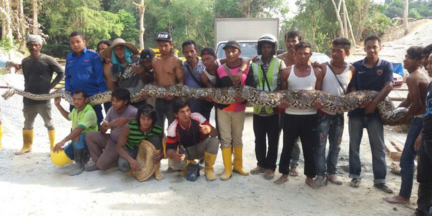 The world's longest snake caught on the Malaysian island of Penang. Photo / Herme Herisyam, Malaysia Civil Defence Force