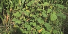 Velvetleaf sightings should be reported to MPI.