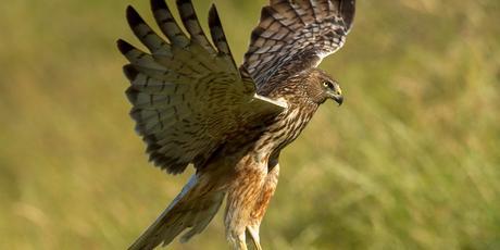 Australasian Harrier Hawk. Photo/Jeanette Nee