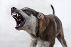 It is a pity these precautions are necessary for an animal that otherwise makes the best of pets. Photo / Getty Images